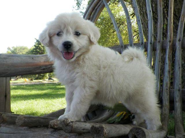 Eskipoo Pets And Animals For Sale In The Usa Puppy And Kitten