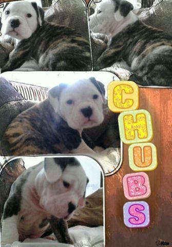 english bulldog boxer mix puppies for sale english bulldog boxer mix puppies cute burrito face pups 4012