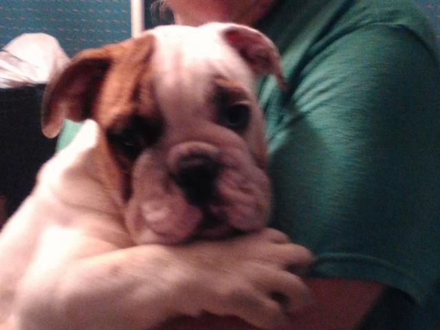 English bulldog champion bloodlines