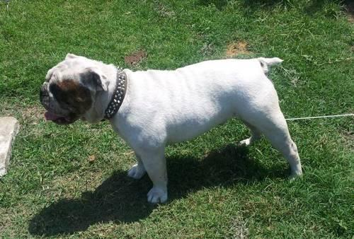 english bulldog without papers for sale English bulldog puppies are most often born via c-section and must receive around the clock care for what's the price without any papers at all about bulldogs.