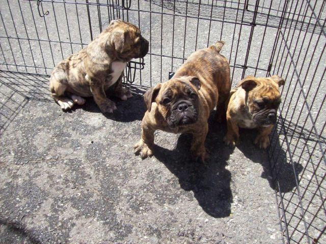 English Bulldog Maltese Mix | Dog Breeds Picture