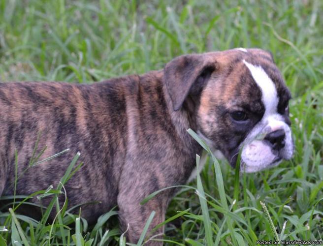 Brindle English Bulldog Related Keywords & Suggestions - Brindle ...