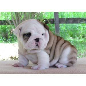 English Bulldog Puppies 321-332-0453