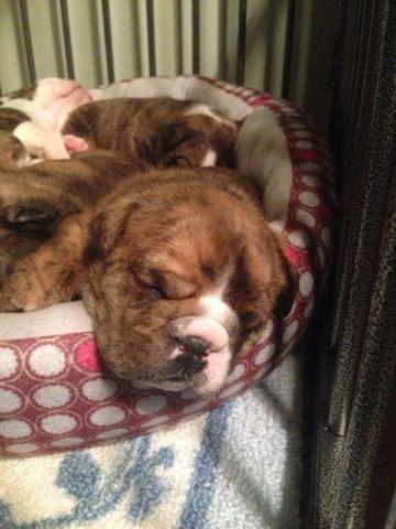 english bulldog puppy for sale in indiana english bulldog puppies akc for sale in indianapolis 1806