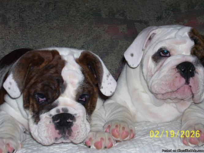 english bulldog puppy for sale in indiana english bulldog puppies for sale in urbana indiana 192