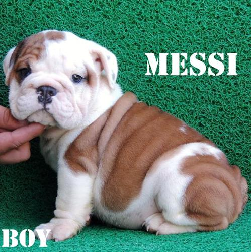 English Bulldog Puppies For Sale In Gilroy California Classified