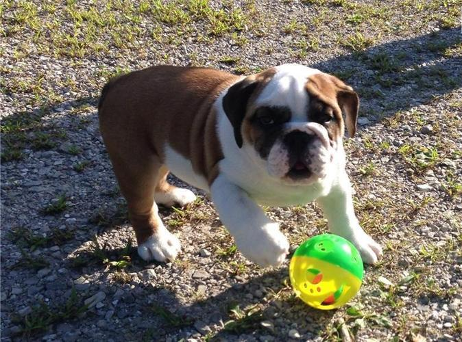 English Bulldog Puppies For Sale In Iowa Classifieds Buy And Sell