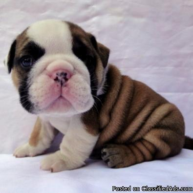 english bulldog puppies for sale in louisiana english bulldog puppies available for sale in lake 5302