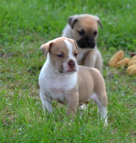 Blue Brindle English Bulldog Puppies
