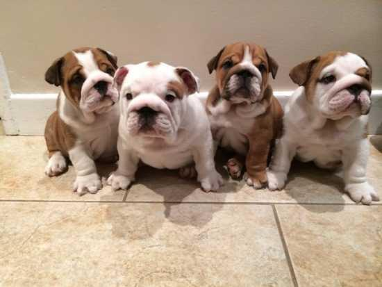 English Bulldog Puppies For Adoption For Sale In Barre