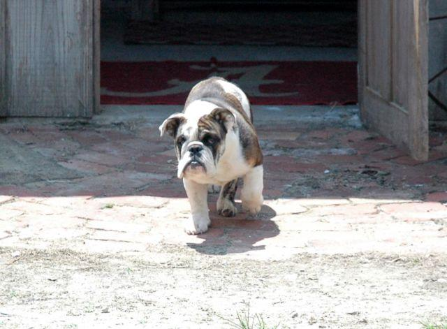 English Bulldog Puppies for sale- 6 months old
