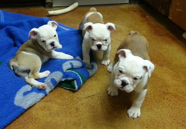 English Bulldog Puppies For Sale 12 Wks Old Akc Certified For