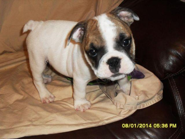English Bulldog Puppies For Sale For Sale In Conway South