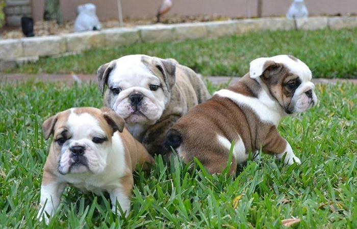 English Bulldog Puppies for Sale for Sale in Asheville ...