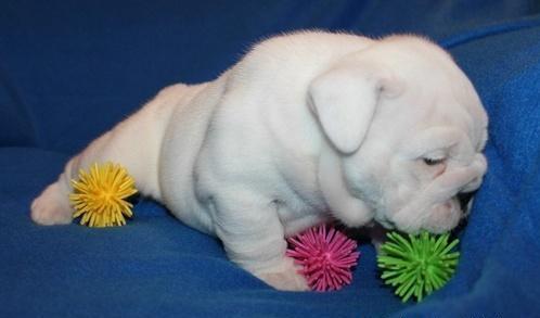 English Bulldog Puppies For Sale In Ohio For Sale In Garrettsville