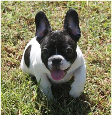 English Bulldog Puppies French Bulldog Puppies For Sale In Dayton Ohio Classified Americanlisted Com