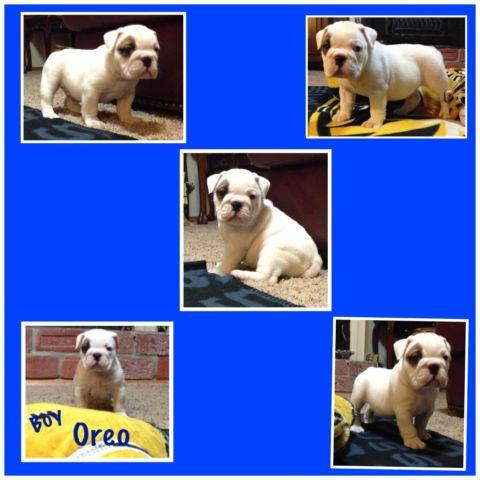 English Bulldog Puppies So Fat And Full Of Wrinkles For Sale In