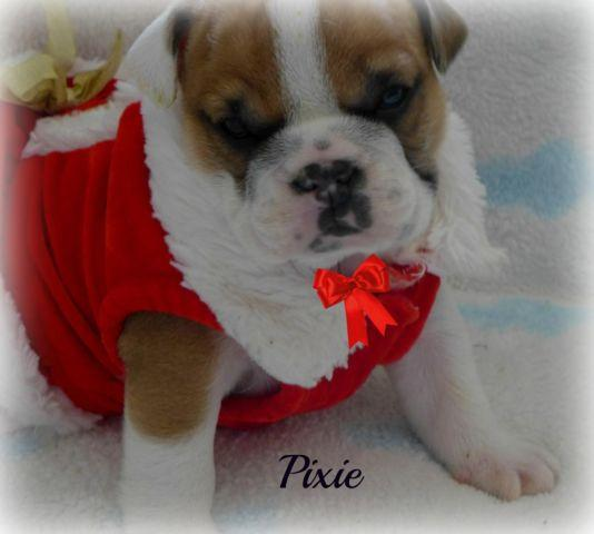 English Bulldog Puppy~Absolutely Adorable~Exceptional