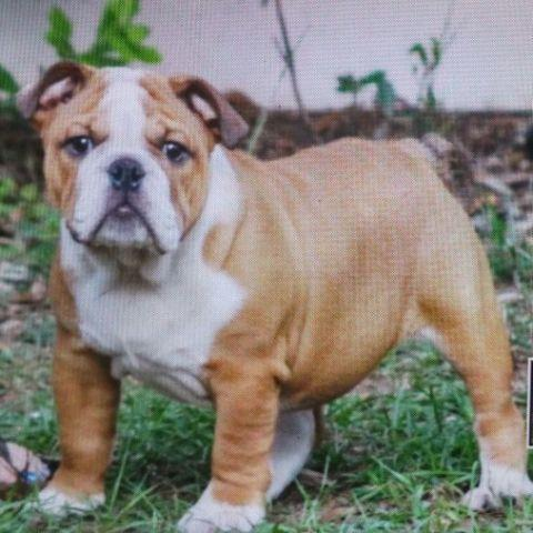 English Bulldog Puppies For Sale In South Carolina Classifieds