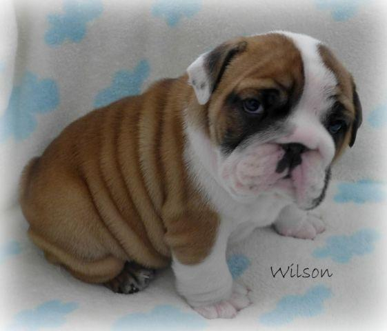 English Bulldog Puppy~Awesome AKC Male~Lilac Sired