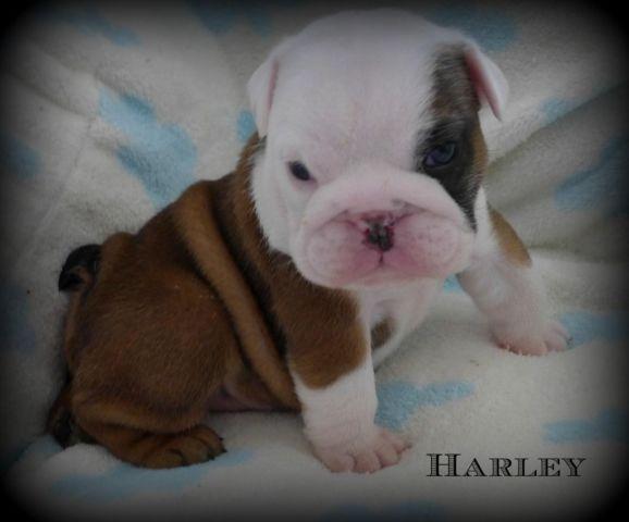English Bulldog Puppy~Champion Bloodlines~AKC Male~SOLD