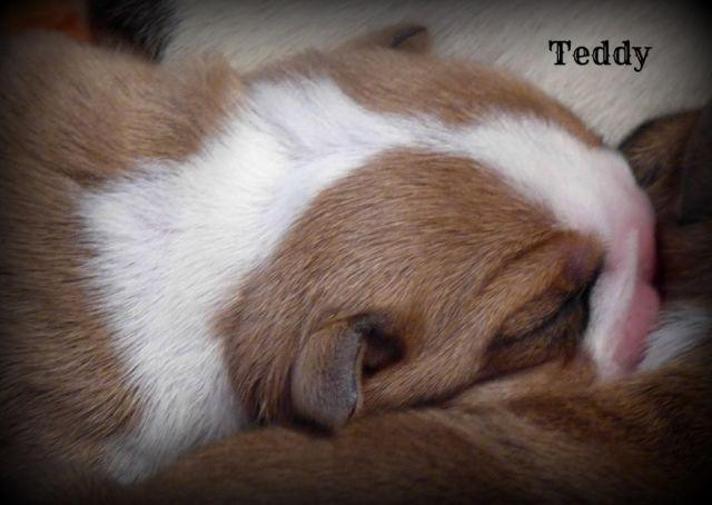 English Bulldog Puppy~Excellent Quality Male