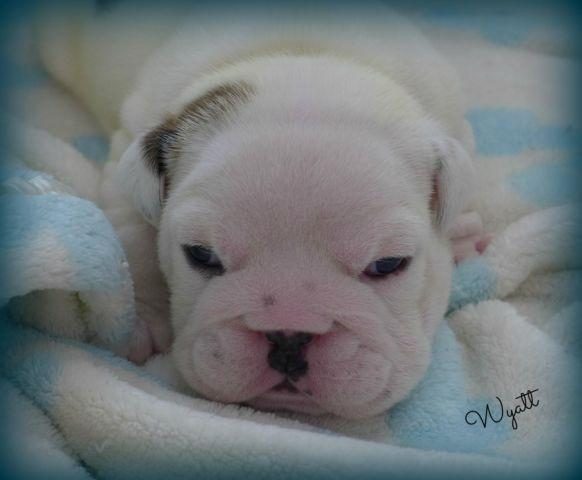 English Bulldog Puppy~Exceptional AKC Male~Lilac Sired,