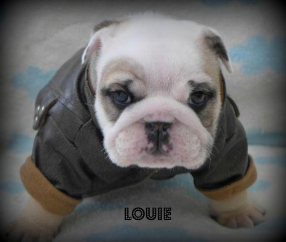 English Bulldog Puppy~Exceptional Blue/Black