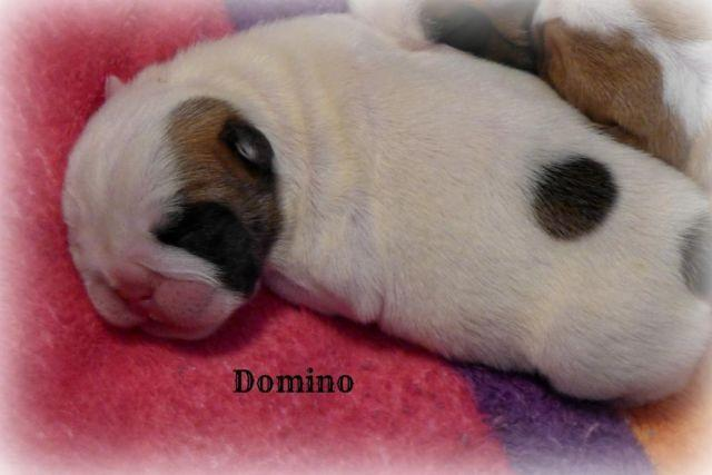 English Bulldog Puppy~Exceptional Quality Male