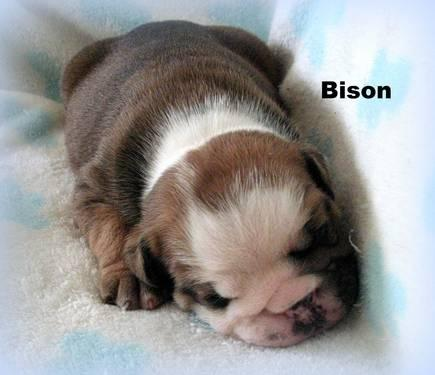 English Bulldog Puppy~Exceptional Quality Male~Champion