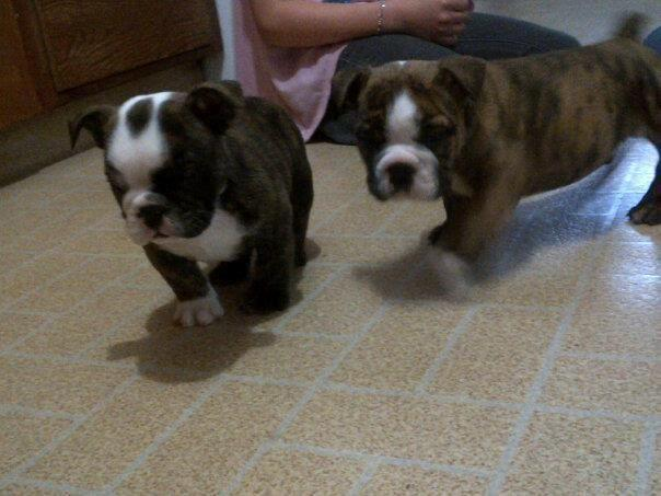 English Bulldog Puppy For Adoption 9 Weeks Old For Sale In Lakefield