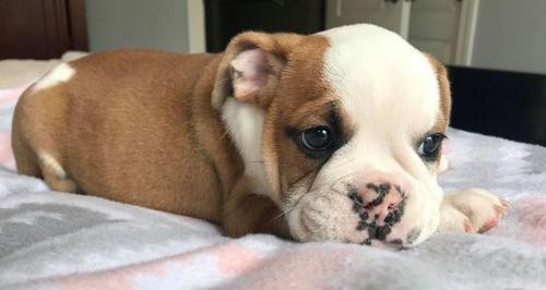 English Bulldog For Sale In South Carolina Classifieds Buy And