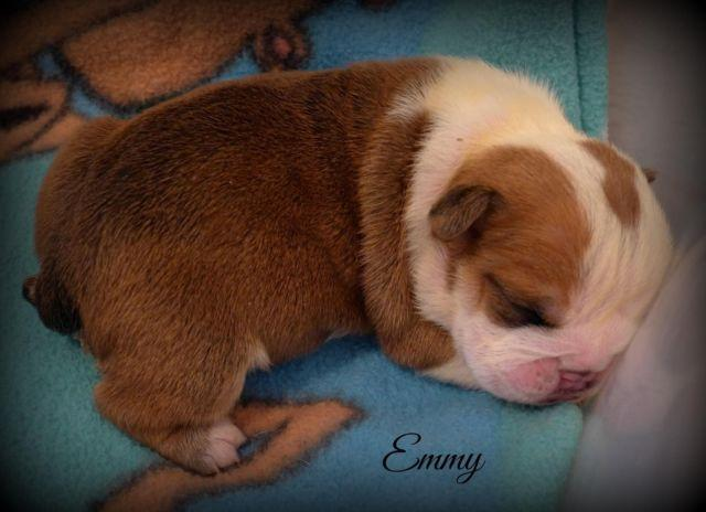 English Bulldog Puppy~Gorgeous Female!