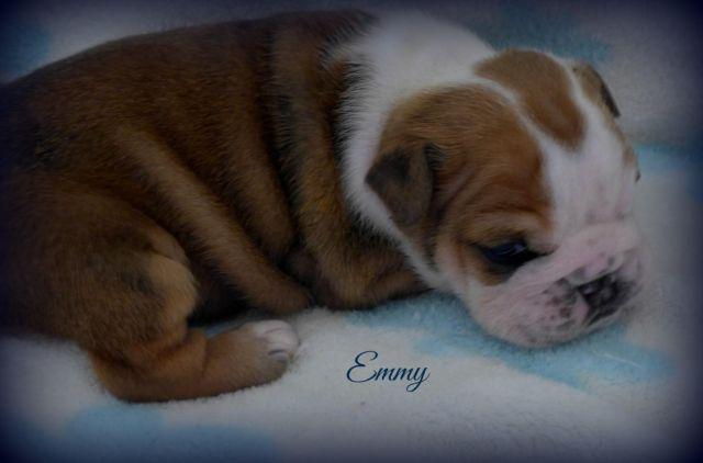 English Bulldog Puppy~Gorgeous Female