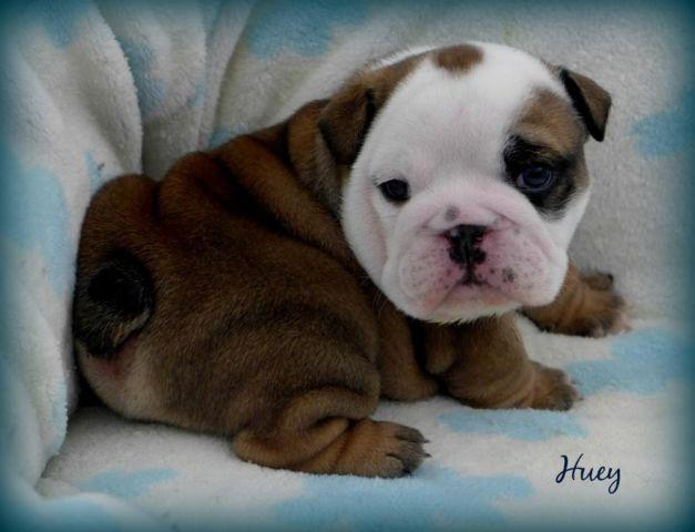 English Bulldog Puppy~High Quality~AKC Male~Blue Color