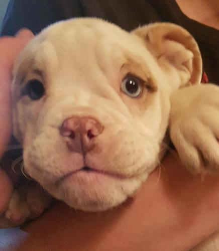 English Bulldog Pups For Sale In Mebane North Carolina Classified