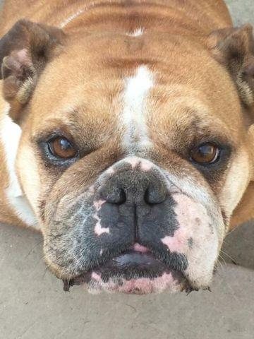 English bulldog red and white