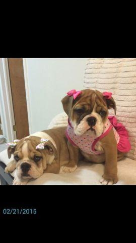 English Bulldogs Females Puppies 11 weeks