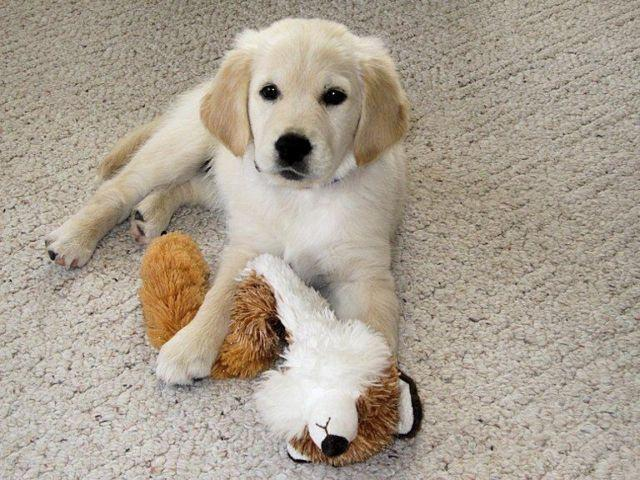 English Cream British Type Golden Retriever Puppies