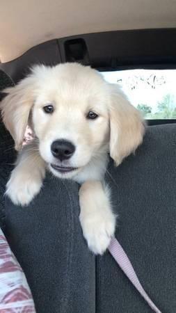 English Cream Golden Retriever Female Puppy For Sale In Orlando
