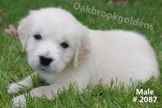English Cream Golden Retriever Male Puppies Akc For Sale In