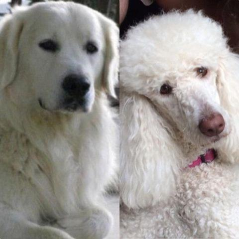 English Cream Goldendoodles For Sale In Mckinney Texas Classified