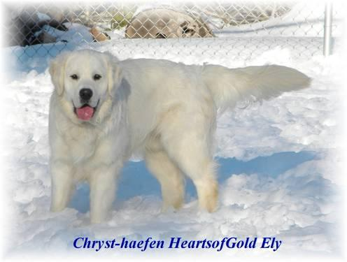 English Cream Light Golden Colored Golden Retriever Pups ...