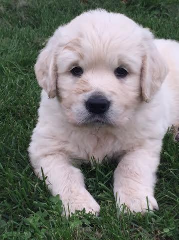 English Female Golden Retriever Puppy For Sale In Escanaba Michigan