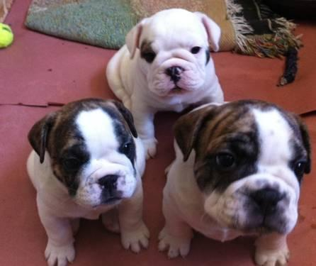 English American Bulldog Mix Puppies For Sale