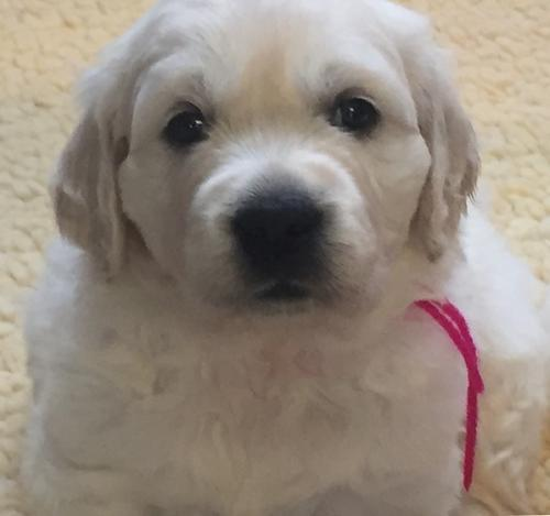 English Golden Retrievers Puppy for Sale - Adoption,