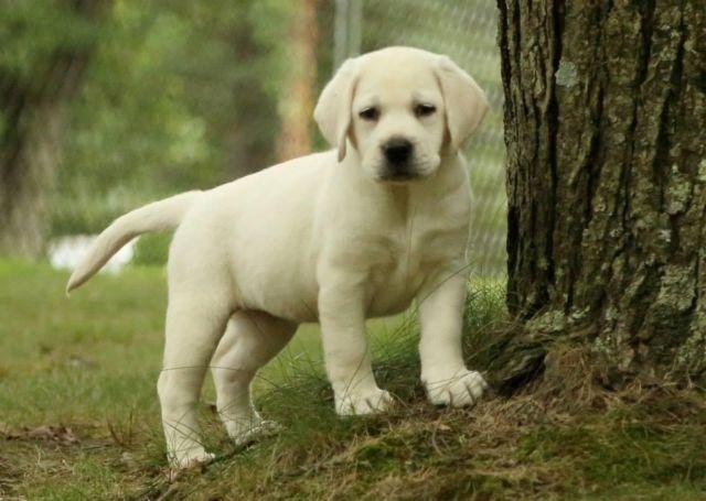 English Labrador Puppies For Sale In Waterfall Pennsylvania