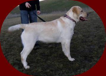 English Labrador Retriever Pups ( Yellow Labs )