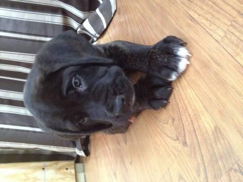 English Mastiff Puppies For Sale In Erie Pennsylvania Classifieds