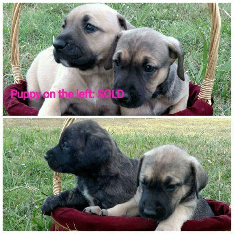 English Mastiff/ Bull Mastiff Cross pups